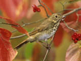 Hermit Thrush (Catharus Guttatus) in a Fall Dogwood Tree  the State Bird of Vermont  USA
