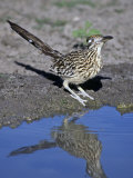 Greater Roadrunner at a Desert Waterhole  Geococcyx Californianus  Western USA