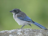 Immature Western or Pacific Scrub Jay  Aphelocoma Californica  Southern California  USA