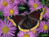 Mourning Cloak Butterfly  Nymphalis Antiopa  on Daisy Flowers  Family Nymphalidae  North America