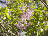 Purple Lilac in Bloom (Syringa Vulgaris)  the State Flower of New Hampshire