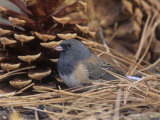 Male Dark-Eyed Junco (Junco Hyemalis)  North America