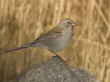 Black-Chinned Sparrow in Winter Plumage (Spizella Atrogularis) Perched on a Rock  Arizona  USA