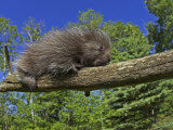 Baby Porcupine on a Tree Branch  Erethizon Dorsatum  North America