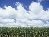 Corn Crop under a Blue Sky with Fair-Weather Cumulus Clouds  Zea Mays