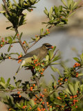 Cedar Waxwing (Bombycilla Cedrorum) Eating a Pyracantha Berry  Arizona  USA