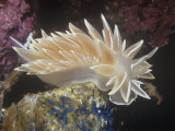 Chalk White Nudibranch  Dirona Albolineata  California Usa  Pacific Ocean