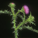 Welted Thistle (Carduus Acanthoides) Flower Spike