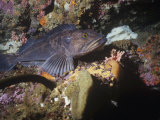 Male Lingcod Guarding Eggs  Ophiodon  Pacific Coast of North America