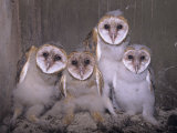 Barn Owl Chicks in their Nest in a Barn  Tyto Alba  an Endangered Species  USA