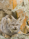A Canadian Lynx  Lynx Canadensis  North America