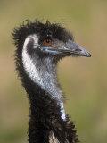 Emu  Dromaius Novaehollandiae  Australia