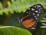 Golden Helicon Butterfly  Heliconius Hecale