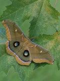 Polyphemus Moth (Antheraea Polyphemus)  Saturniidae  Florida