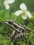 Pickerel Frog (Rana Palustris)  North America