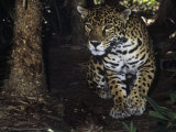 Jaguar Stalking  Panthera Onca  Central America