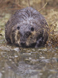 A Beaver on the Shoreline (Castor Canadensis)  North America