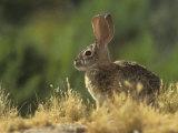 Desert Cottontail Rabbit (Sylvilagus Audubonii)  Southwestern USA