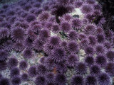 Purple Sea Urchin (Strongylocentrotus Purpuratus)  Pacific Coast of North America