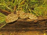 Prairie Rattlesnake  Crotalus Viridis Viridis