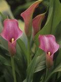 Calla Lily Flowers  Zantedeschia  Araceae