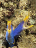 Pair of Blue Ribbon Eels  Rhinomuraena Quaesita  Indonesia