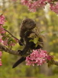 Fisher  Martes Pennanti  Juvenile in a Flowering Tree  North America