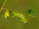 Moth Caterpillar on an Eaten Leaf (Adeloneivaia Jason)  Fifth Instar Ecuador
