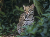 Ocelot  Felis Pardalis  a Threatened Species of Wild Cat  Southern Usa into South America