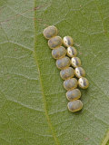 Saturnid Moth Eggs or Ova (Copaxa Decreasens) Ecuador