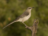 Northern Mockingbird (Mimus Polyglottos) on a Snag  North America