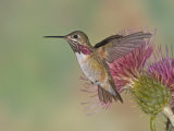 Calliope Hummingbird (Stellula Calliope)MaleSmallest Hummingbird Which Migrates to United States