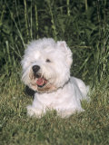 West Highland White Terrier Variety of Domestic Dog