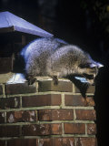 Raccoon (Procyon Lotor) Exploring a Chimney on a House  North America