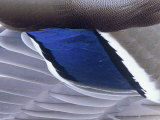 Mallard Duck Speculum Feathers (Anas Platyrhynchos)  North America