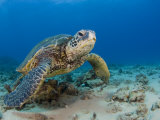 Green Sea Turtle (Chelonia Mydas)  an Endangered Species  Hawaii  USA