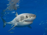 Great White Shark (Carcharodon Carcharias)  Guadalupe Island  Mexico