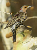 Female Northern or Red-Shafted Flicker in a Sycamore Tree (Colaptes Auratus)  North America