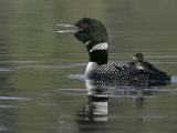 Common Loon (Gavia Immer)Calling with a Chick Riding on its Back Kamloops  British Columbia  Canada