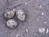 Black Skimmer  Rhynchops Niger  Ground Nest with Three Eggs  Florida  USA