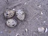Black Skimmer  Rhynchops Niger  Ground Nest with Three Eggs  Florida  USA
