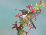 Ruby-Throated Hummingbird  Archilochus Colubris  Male  Eastern North America