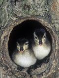 Two Wood Duck Young Peering from their Nest Hole in a Tree  Aix Sponsa  North America
