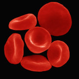Red Blood Cells or Erythrocytes Showing their Biconcave Shape