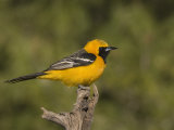 Hooded Oriole Male (Icterus Cucullatus) on a Snag  Arizona  USA