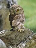 Northern Saw-Whet Owl  Aegolius Acadius  North America