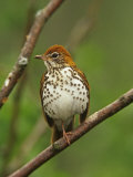 Wood Thrush  Hylocichla Mustelina  Eastern North America