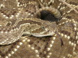 South American Rattlesnake    Crotalus Durissus Terrificus  Adult  South America