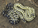 Color Variation in California King Snakes  Lampropeltis Getulus  California  USA