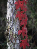 Fall Virginia Creeper Vine Growing Up a Tree Trunk  Parthenocissus Quinquefolia  North America